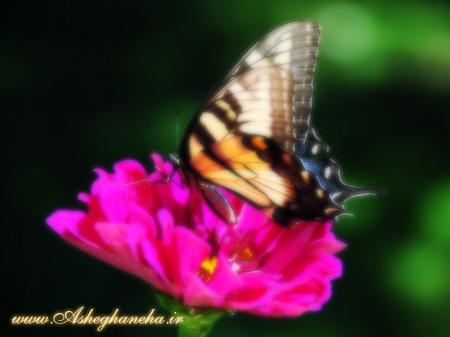 گل پروانه عشق آزادی