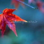 برگ سرخ