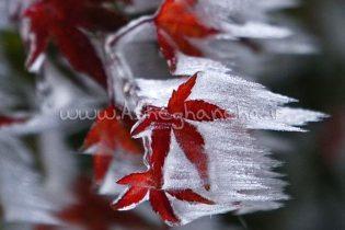 برگ یخ زده