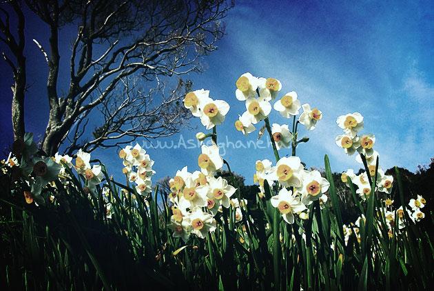 خواب زمستان عشق نرگس گل